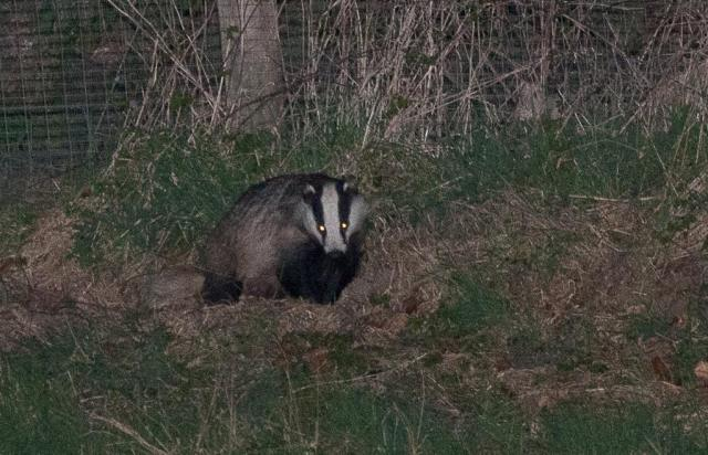 Picture of a badger taken in Voeren a few years ago