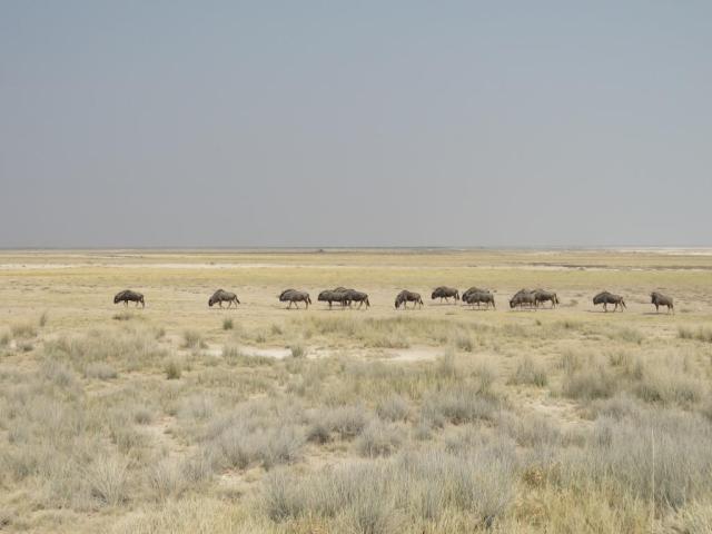 Wildebeasts in Etosha